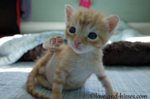 how to get fleas off a kitten